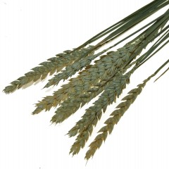 Triticum, bundeltje naturel tarwe van 10 stelen