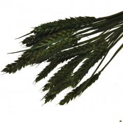 Triticum, bundeltje Olijfgroen tarwe van 18-20 stelen