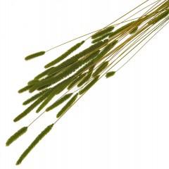 Phleum Pratensis olijfgroen