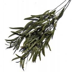 Eucalyptus Nicoly Green