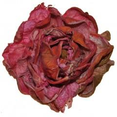 Droogbloem Landlotus pioen, 10cm
