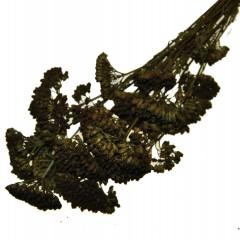 Achillea Nobilis Bruin-Olijfgroen