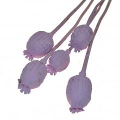Papaver lichtroze, 25cm