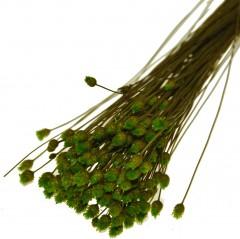 Glixia Groen
