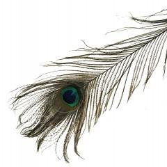 Pauwenveer, 80cm