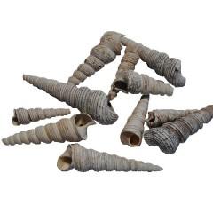Terebra Turitella white-wash grijs