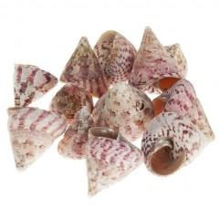 Troca Maculata roze, 5 stuks
