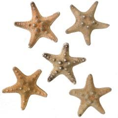 Zeesterren naturel/oker, 5 stuks, 3-5 cm