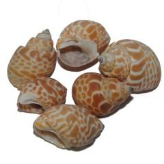 Babylonia Spirata schelpen,  100gram