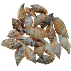 Shell strombus mini, 3,5cm