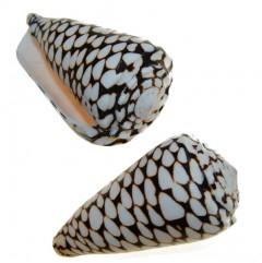 Conus Marmoreus, 9cm
