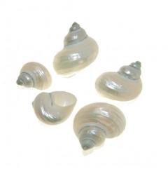 Turbo nacre pearl, per stuk, 3.5cm